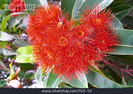 Blossom, Eucalyptus