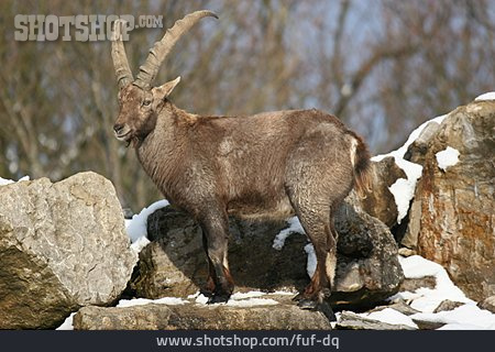 Goats, Capricorn