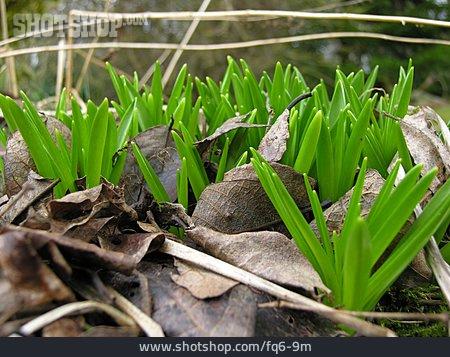 Leaves, Daffodil