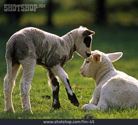 Pasture, Lamb