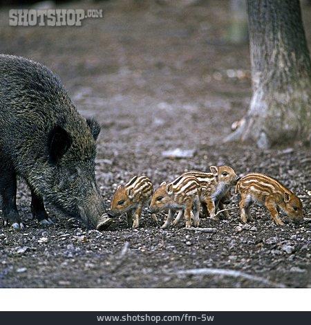 Animal Family, Wild Boar, Wild Piglet