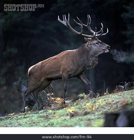 Deer, Rutting
