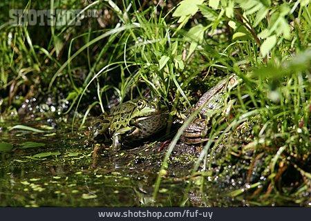 Frog, Edible Frog