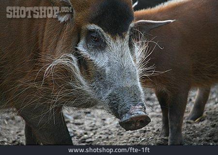 Pork, Bush Pig