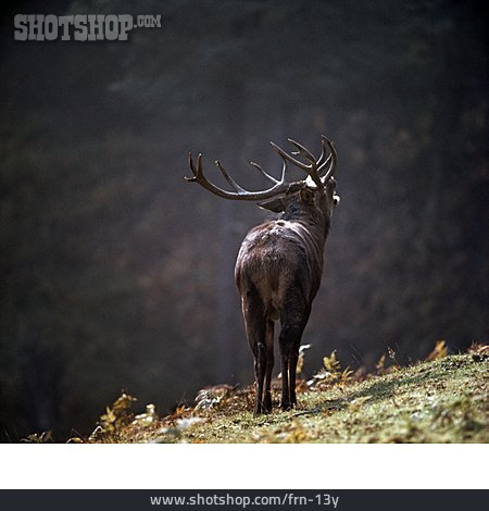 Deer, Stag Roaring