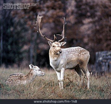 Fallow Deer, Deer, Deer