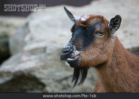 Chewing, Goat