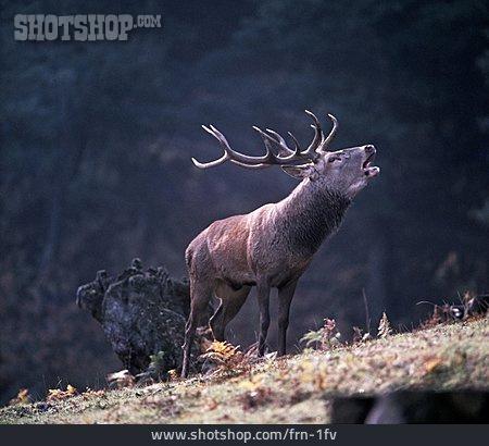 Deer, Antler, Rutting