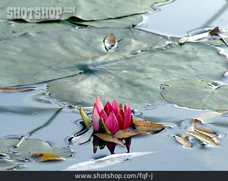 Water Plant, Water Lily