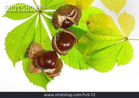 Chestnut, Chestnut Leaf