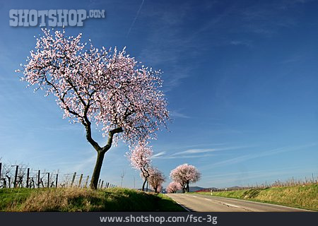 Road, Almond Tree Blossom, Southern Palatinate
