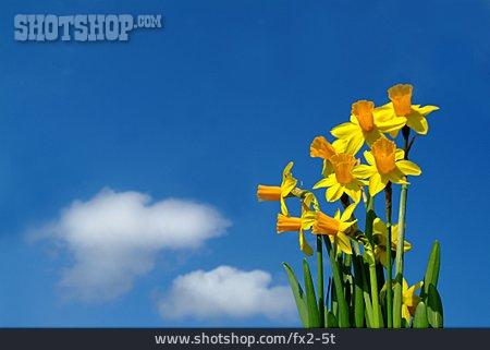 Flower, Daffodil
