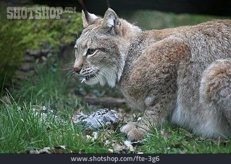 Prey, Lynx
