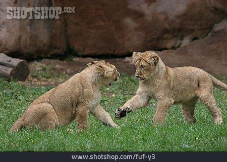 Playing, Lion