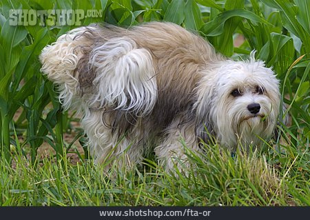 Dog, Havanese