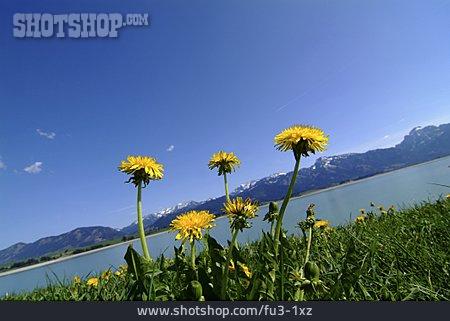 Lake, Dandelion, Allgau