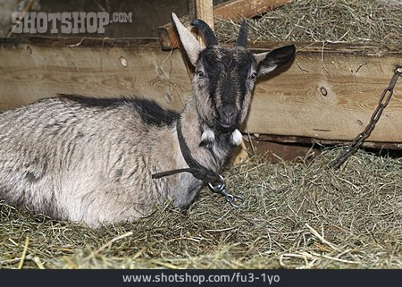 Goat, Barn, Chained