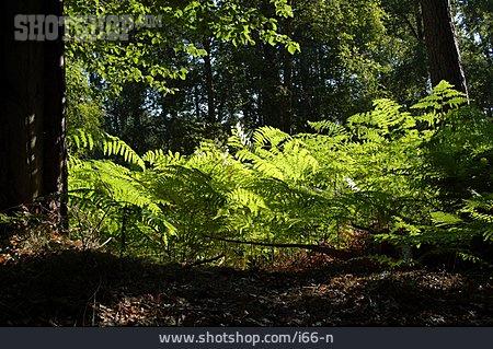 Backlighting, Forest, Fern