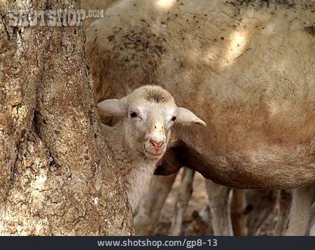 Sheep, Lamb