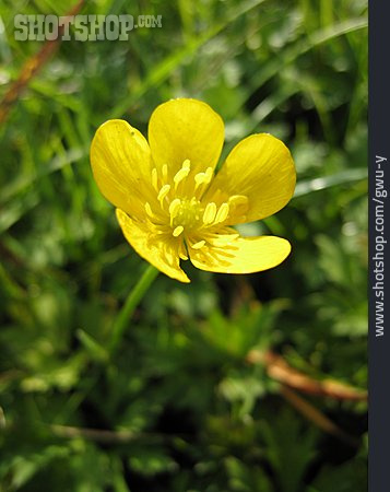 Buttercup, Field Marigold