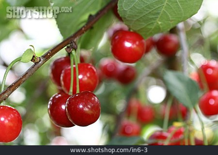 Summer, Cherry Tree, Cherry
