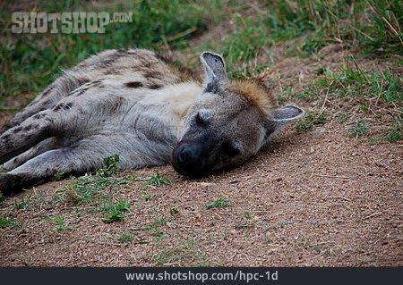 Predator, Hyena