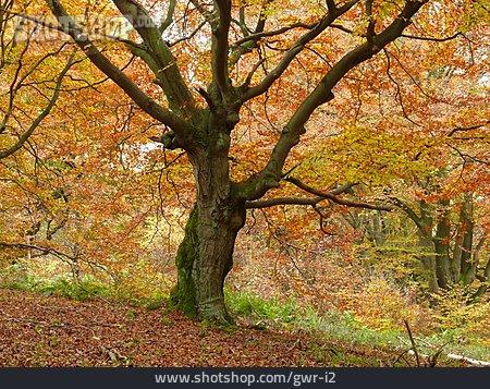 Tree, Beech Tree