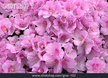 Blossom, Rhododendron, Azalea