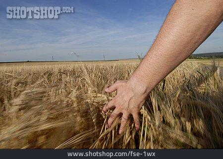 Reif, Corn Field, Roam