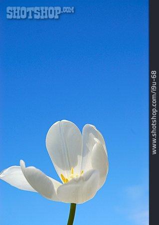Tulip, Tulips Bloom