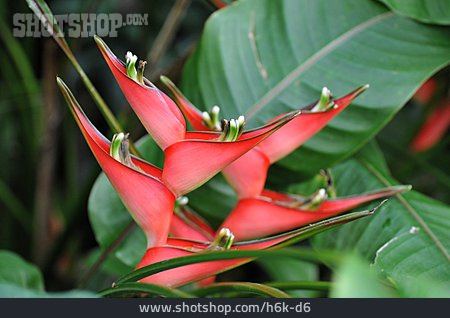 Blossom, Heliconia