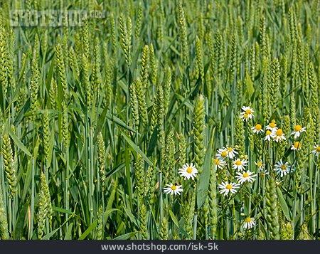 Wheat Field, Chamomile Flower