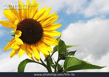 Sunflower, Sunflower Blossom