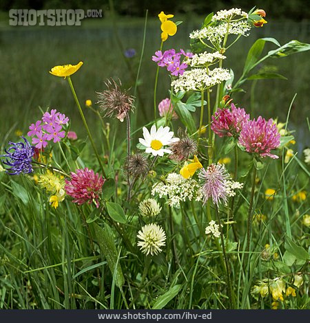 Flower Meadow, Wildflowers, Wild Flower