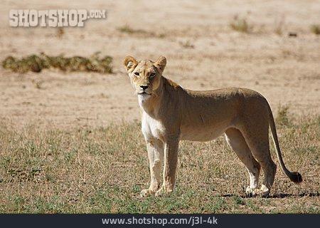 Wild Cat, Lion