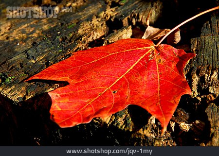 Red, Autumn, Tree Leaf