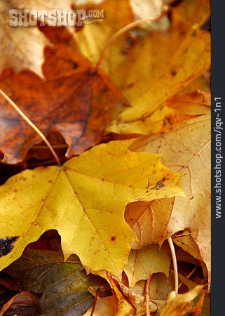Leaves, Maple Leaves