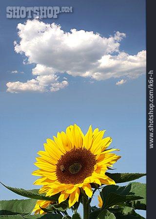 Cloudscape, Sunflower, Blossom