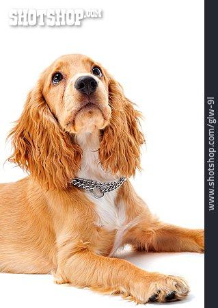 Curiosity & Expectation, Puppy, Cocker Spaniel