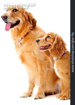 Dog, Hovawart, Cocker Spaniel