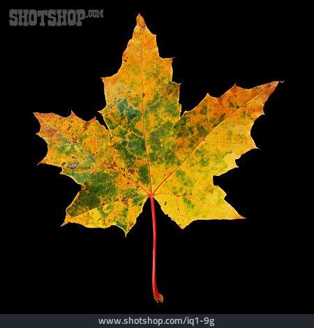 Autumn Leaves, Fall Colors, Maple Leaf