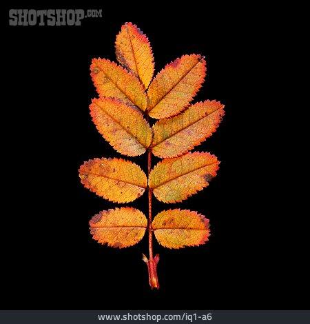 Autumn Leaves, Rosa Canina, Leaf