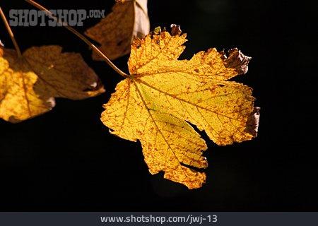 Autumn, Maple Leaf