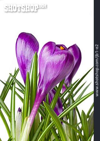 Crocus, Crocus Flower