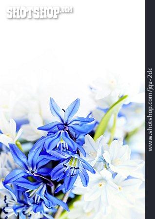 Snowdrop, Hyacinthoides
