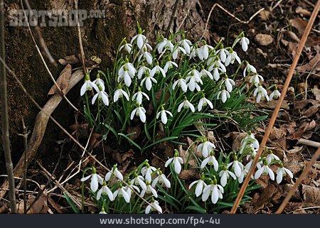 Spring Flower, Snowdrop