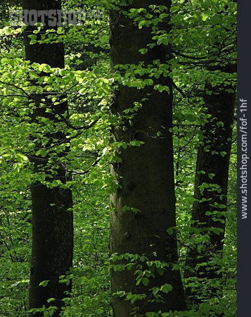 Forest, Deciduous Forest, Beech Grove