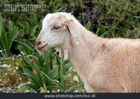 Lamb, Mountain Sheep