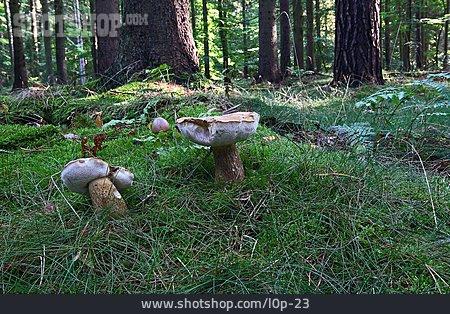 Mushroom, Bitter Bolete, Boletales