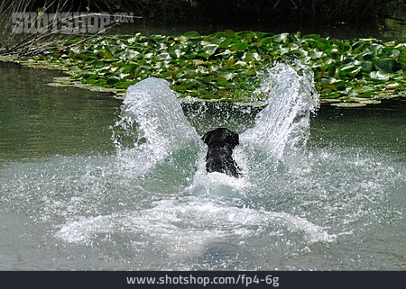 Swim, Injecting, Labrador
